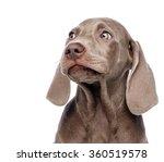 Stock photo weimaraner dog isolated on white 360519578