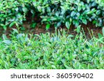 freshness tea top in plantation. | Shutterstock . vector #360590402