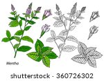 mentha. common mint. vector... | Shutterstock .eps vector #360726302