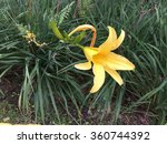 Yellow Daylily In The Highland