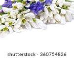 Beautiful Snowdrops Galanthus...
