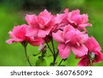 pink roses on a green... | Shutterstock . vector #360765092