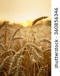 Wheat In Early Sunlight Ready...