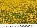 Dandelion Yellow Flower Growin...