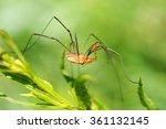 Daddy Long Legs Spider   Side...