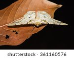 Close Up Of Biston Inouei Moth...