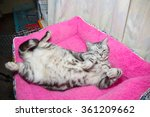 Stock photo american short hair cat sleep and play on pink bed 361209662