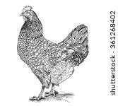 chicken vintage hand drawn...   Shutterstock .eps vector #361268402