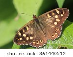 Speckled Wood Butterfly ...