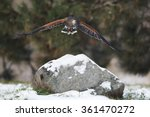 Harris Hawk In Flight Above Th...