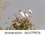 Three Wood Storks  Mycteria...