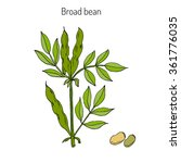 broad beans or fava beans hand... | Shutterstock .eps vector #361776035