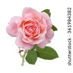 Stock photo beautiful pink rose isolated on white background 361984382