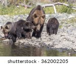 a grizzly bear mum with her... | Shutterstock . vector #362002205