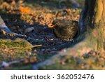 Male Blackbird  Turdus Merula...