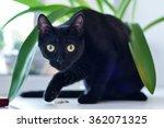 Stock photo black cat looking at the camera 362071325