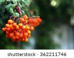 Branch Of Ash Berry Closeup
