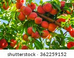 Peach Tree With Fruits Growing...