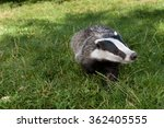 badger | Shutterstock . vector #362405555