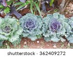 Colorful Ornamental Cabbage ...
