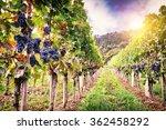 Landscape Autumn Vineyards Organic Grape - Fine Art prints