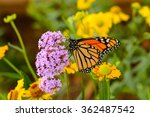 Stock photo monarch butterfly a monarch butterfly feeding on pink flowers in a summer garden 362487542