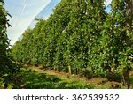 Red Apple Orchard Under Shade...