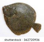 Brill  Tasting Flatfish  Turbo...