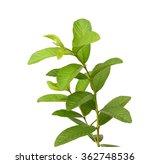 One Leaf Guava Close Up Macro...
