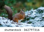 Red Squirrel Feeding In...