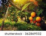 orange trees in the garden | Shutterstock . vector #362869532
