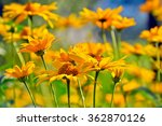 heliopsis helianthoides  yellow ... | Shutterstock . vector #362870126