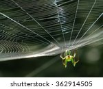 Orchard Orbweaver Spider On Th...