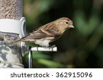 Small photo of Lesser Redpoll (Acanthis cabaret) taking advantage of a winter bird feeder.