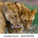 Small photo of Two lionesses fondle each other. National Park. Kenya. Tanzania. Masai Mara. Serengeti. An excellent illustration.