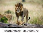 Big Male Lion With Cub....