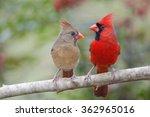 Northern Cardinal Mates Facing...