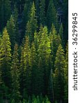 green pine tree forest along... | Shutterstock . vector #36299845