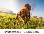 Bloodhound Dog Puppy Close Up...