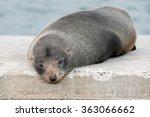 wild australia fur seal close...