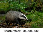 European Badger In The Forest ...