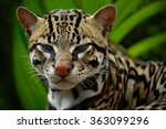 Detail Portrait Of Ocelot  Nic...