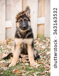 German Shepherd Puppy Sitting ...