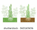 asparagus plant with leaves and ... | Shutterstock .eps vector #363165656