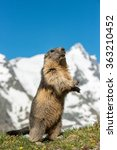 Small photo of Alpine Marmot, Austria