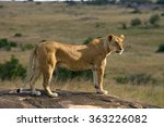 Lioness In The Savannah....