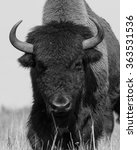 Small photo of American bison (buffalo) is approaching . Black and white photography of american bison. The one american bison (buffalo) in the steppe.