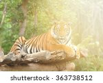 Bengal Tiger Lie Down On Litte...