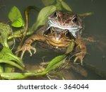Common Frogs In Amplexus 01
