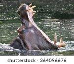 Hippopotamus  Hippopotamus...